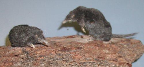 shrew-mole