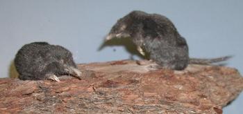 shrew-mole thumbnail
