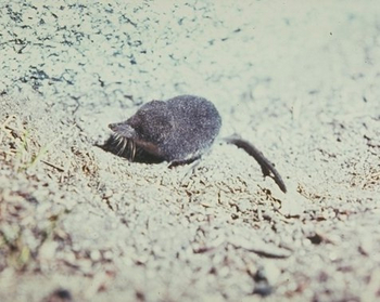 Water Shrew thumbnail